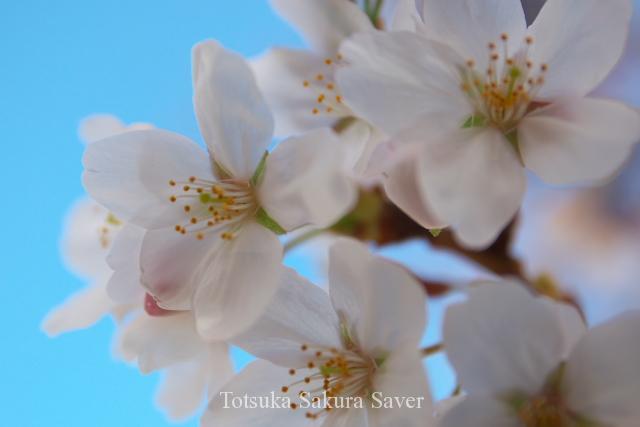 柏尾川で見ることができる桜