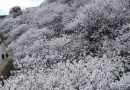 2019.03.19  南足柄で「春めき桜」が満開でした!